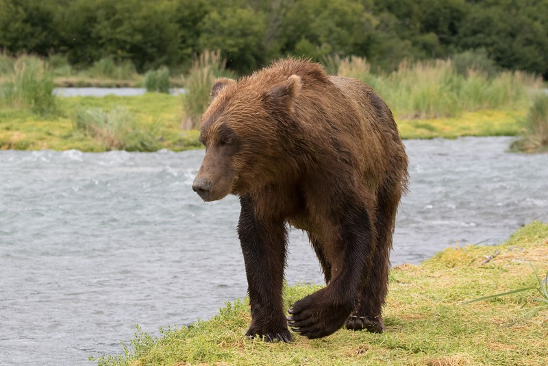 Close approach of a young male bear
