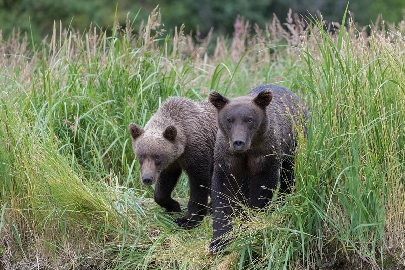 Yearling cubs watching their mother trying to catch fish