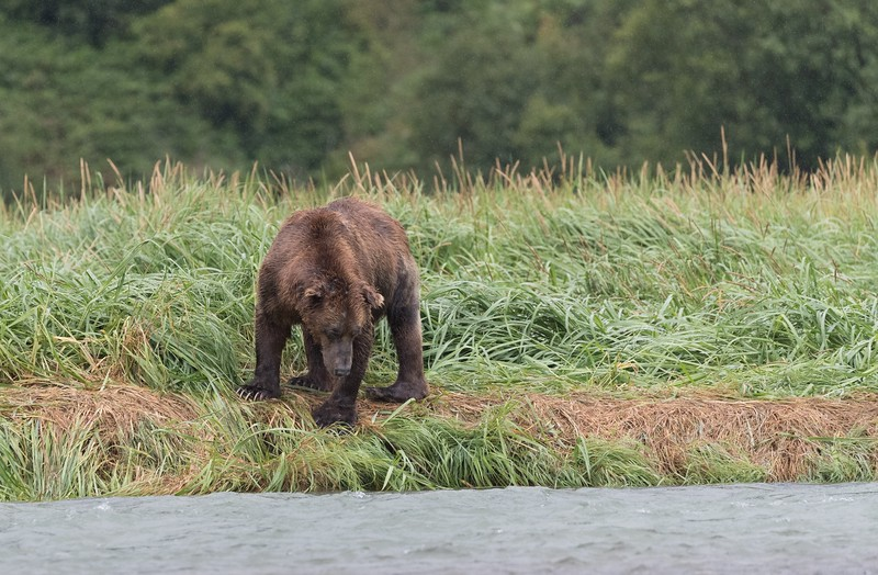 Standing on a well worn bear track looking for salmon