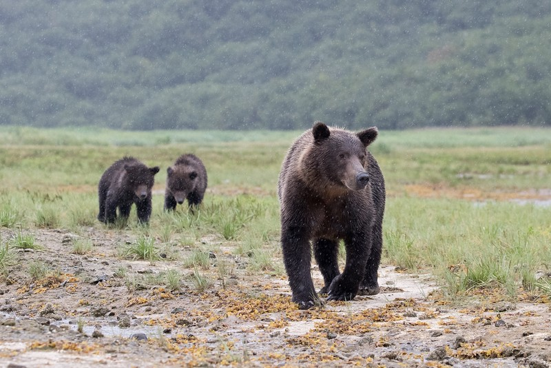Mother and cubs on a rainy morning