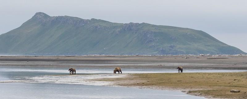 Brown Bear family fishing in Hallo Bay