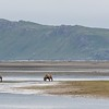 Brown Bear family fishing in Hallo Bay
