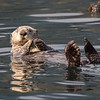 Sea Otter off Kodiak