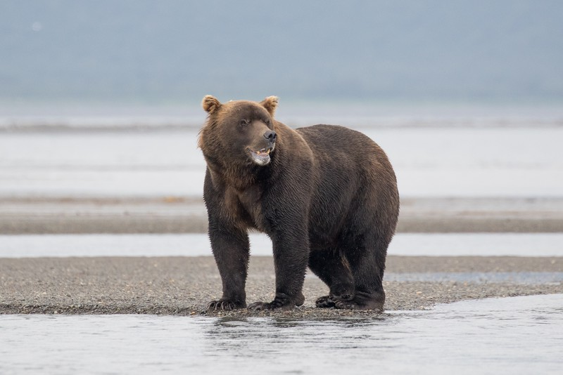 Huge male Brown Bear in Hallo Bay