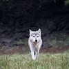 Coastal wolf approaching