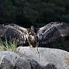 Juvenile Bald Eagle's first flight