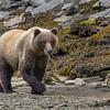 Coastal brown bear at low tide