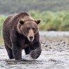 Brown bear claws may be over 3 inches long