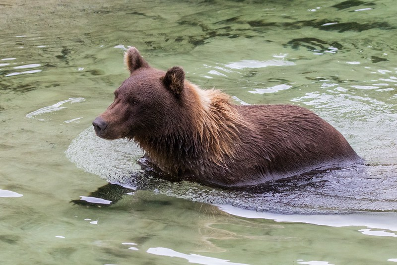 Young male bear walking the salmon stream