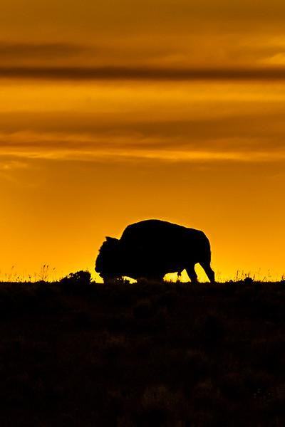 Bison #2