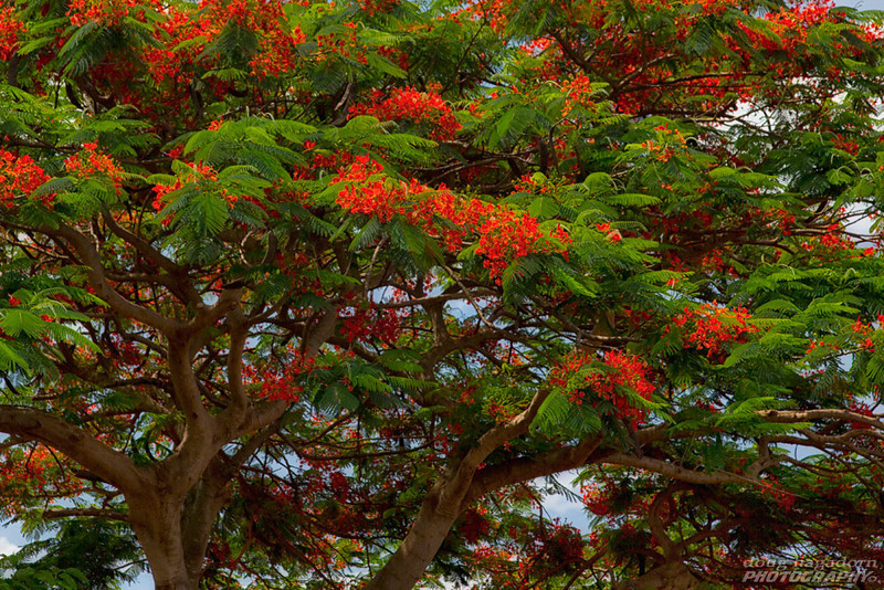 Hawaiian Tree
