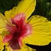 Hawaiian hibiscus, The State Flower