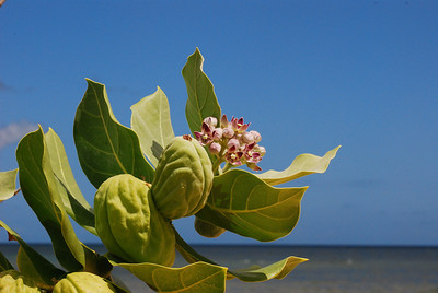 The invasive plant: giant milkweed (Calotropis procera)