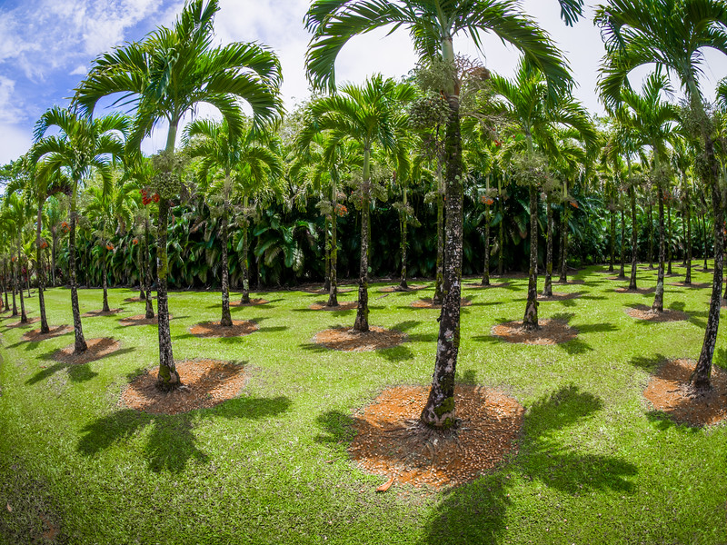 Helicopter Palms