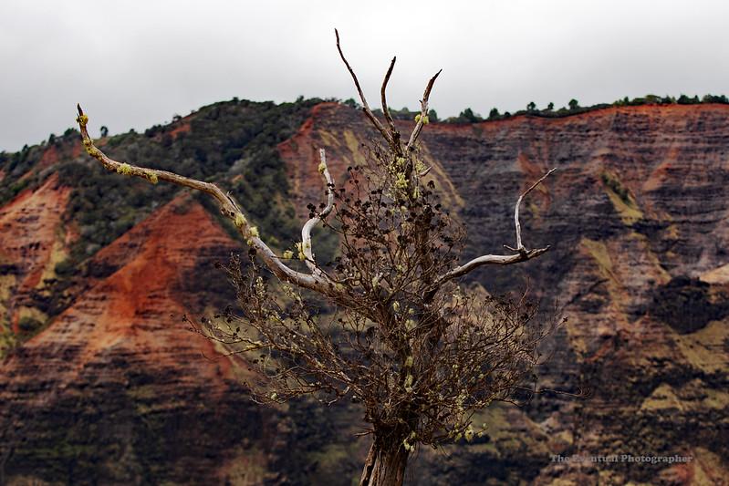 Waimea Canyon Top of Trail Dead Tree (5516) Marked