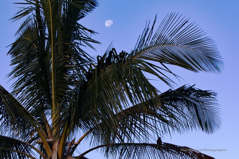 Koloa Landing Palm, Moon & Bird (5772) Marked