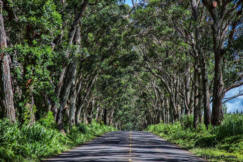 Koloa Tunnel of Trees