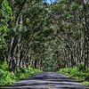 Koloa Tunnel of Trees
