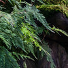 Ferns & Moss over Rock