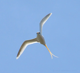 White-tailed Tropic Bird