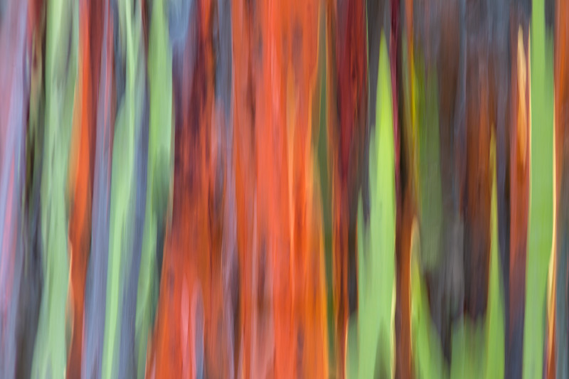 Eucalyptus Tree Motion Blur