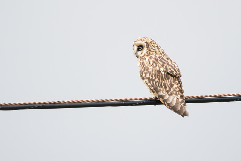 Hawaiian Short Eared Owl (Pueo)