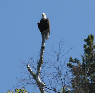 Eagle at Thompson Island