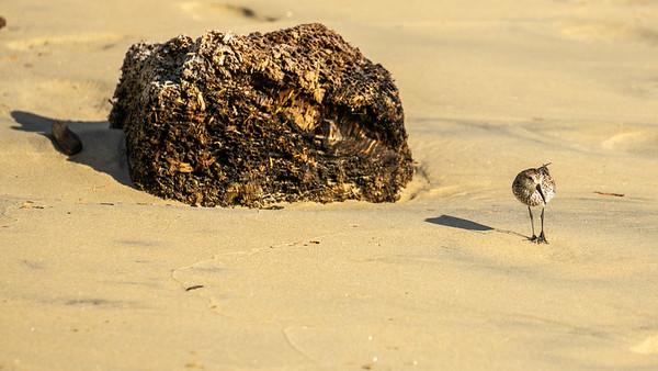 Western sandpiper 2