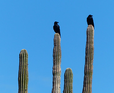 The ravens watched our camp closely. When we went for a hike, they came into camp to scavenge.