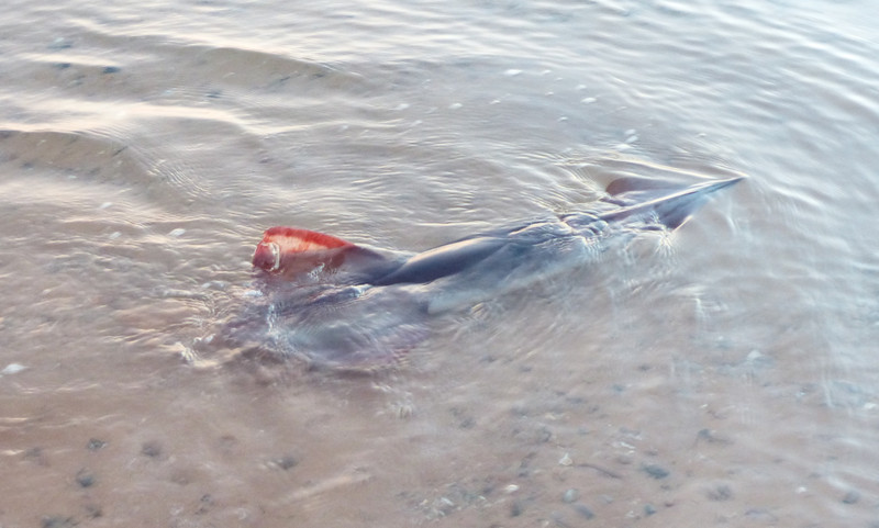 As we were launching our kayaks, this large squid was swimming around in the shallow water. It appeared to be trying to beach itself.