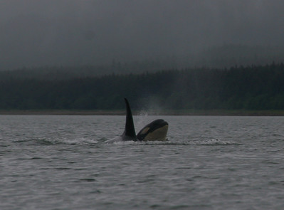 We were lucky to see a pod of Orcas. Here are 2 of them.