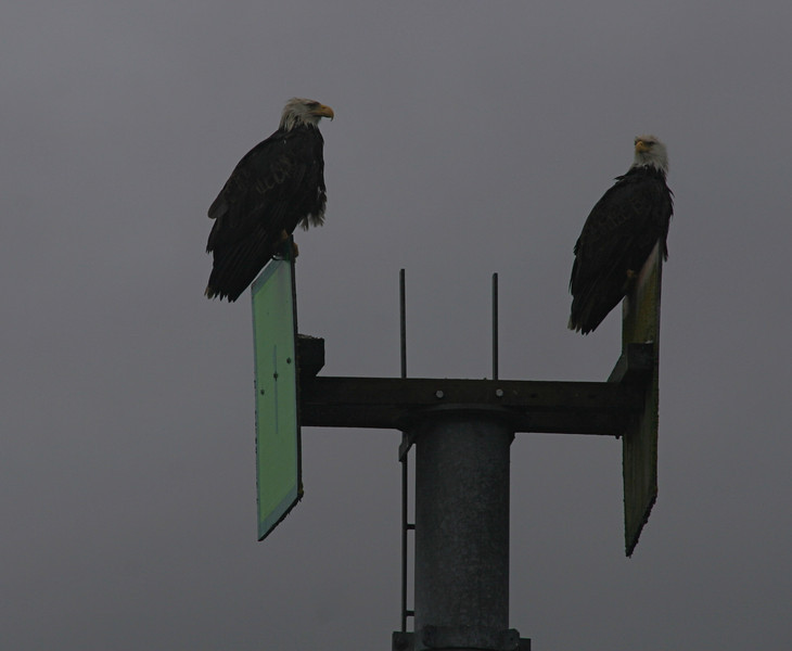 We saw about 100 eagles in the first 3 miles of our paddle. These 2 are in the harbor.