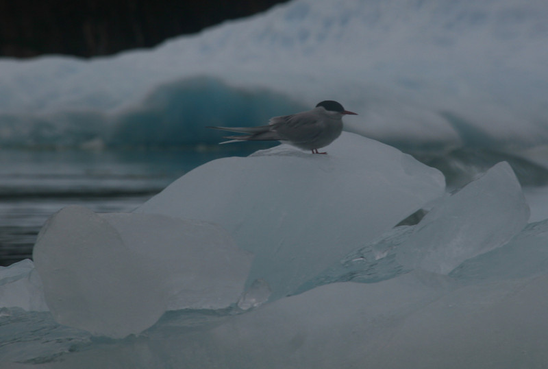 Arctic terns are the worlds longest migrators. They fly from the Arctic to the Antarctic each year.