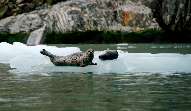 More seals. We stay far enough away so as not to worry them. They are often preyed upon by Orcas.