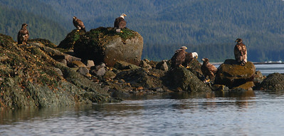We surprised this family of eagles while rounding a point in our kayaks. The juveniles (the ones without the white heads) aren't experienced enough to know that they should fly off.