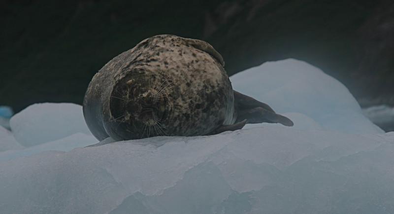Seals are often seen on the ice flows.