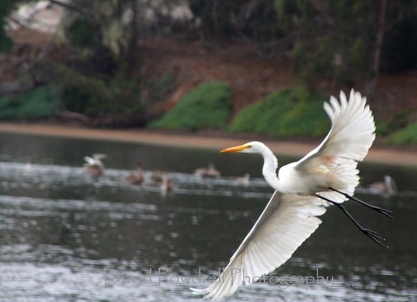 Egret in flight-Morro Bay estuary.