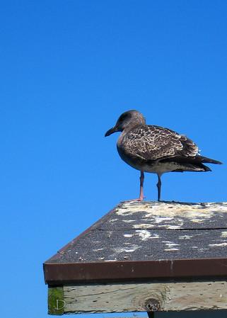 Crescent City gull