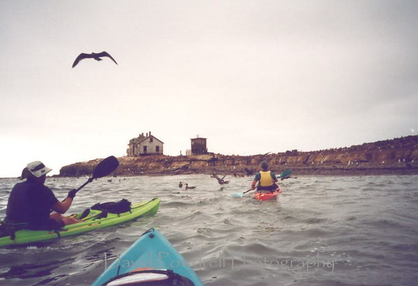 Paddling up to Ano Nuevo Island, home of 58 great white shark taggings last year.