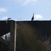 Heron on whitebait hut