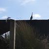 Heron on whitebait hut