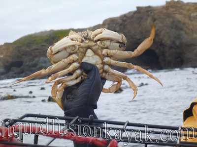 Female dungeness crab that we put back.