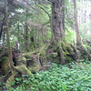 Inspiration for Tolkein's Ents?