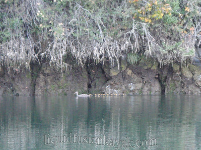 Bird and wildlife watching on the Noyo River in Fort Bragg, CA.