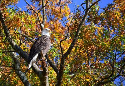Bald Eagle in Fall