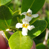 Mangrove blossoms were the target of migrating hummingbirds I think.