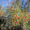 Red berries not yet eaten