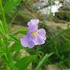 Phrymaceae - <br /> Mimulus alatus- Sharp-wing Monkey-flower