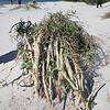 A wayward mangrove, I think.