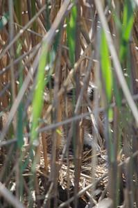 Baby Racoon in Hiding